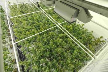 Cannabis plants growing at indoor sanctioned marijuana facility